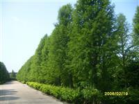 江苏地区供应东方杉规格3公分-25公分