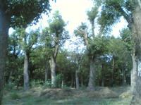 常年出售移植榉树,朴树
