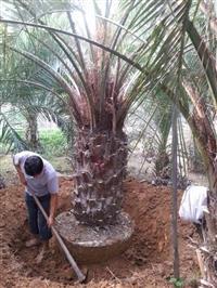 布迪椰子价格 福建布迪椰子