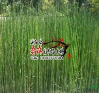 供应水生植物 原叶节节草 土麻黄 草麻黄 木贼草