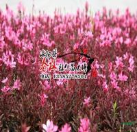 供应地被植物 紫叶千鸟花 又名紫叶山桃草 沭阳紫叶千鸟花基地
