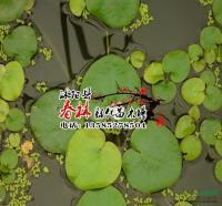 供应水生植物 水鳖 又名马尿花 �]菜 水鳖苗