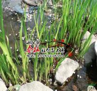 供应水生植物-花叶菖蒲,金钱蒲、金线石昌蒲 水体景观
