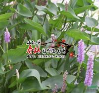 供应水生植物 雨久花 又名浮蔷 蓝花 水体净化
