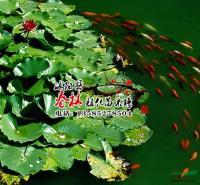 供应水生植物-睡莲 又名子午莲 水芹花 瑞莲 水洋花 小莲