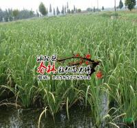 供应水生植物 野茭白 别称 水笋 茭白笋 脚白笋 菰 菰菜 高笋