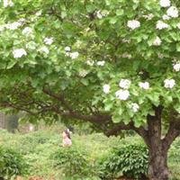最新5公分山楂树价格/5公分山楂树冠幅2米/5公分山楂树价格