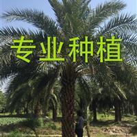中东海枣 漳州中东海枣 中东海枣树 中东海枣种子