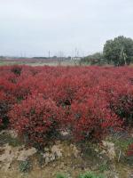 桂花,红叶石南,红花继木、杜鹃小苗,杜鹃球等多品种