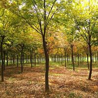 常年出售榉树,红榉树  江苏榉树