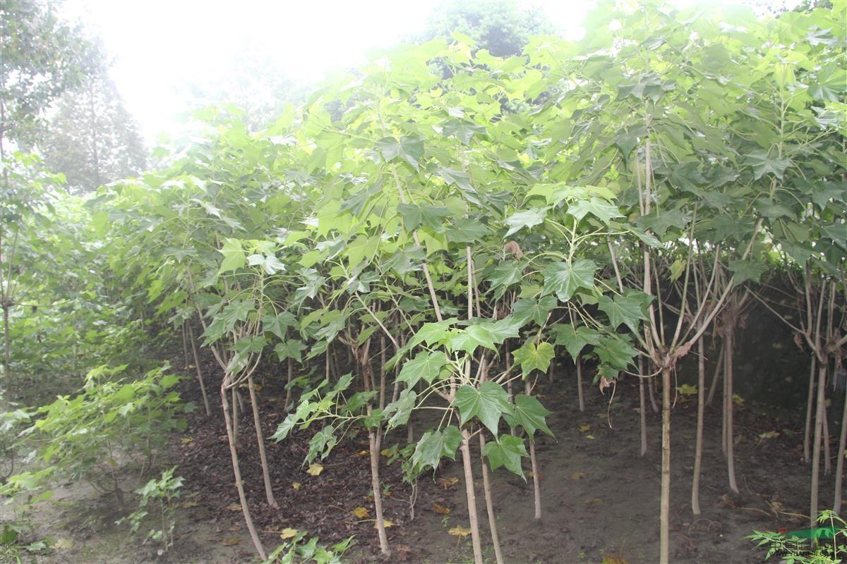 绿化苗木频道 苗木供应