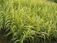 销售 50万棵 水生植物 花叶芦竹 水葫芦 水仙 千屈菜 芦
