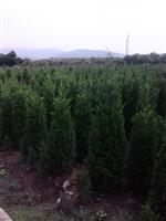 桧柏,蜀桧柏,塔柏等苗木,蜀桧种植