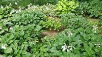 紫萼玉簪适合保定生长的萱草