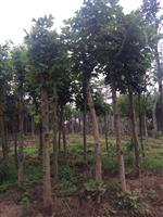 马褂木,鹅掌楸,马褂木价格,马褂木供应,2014年马褂木价格