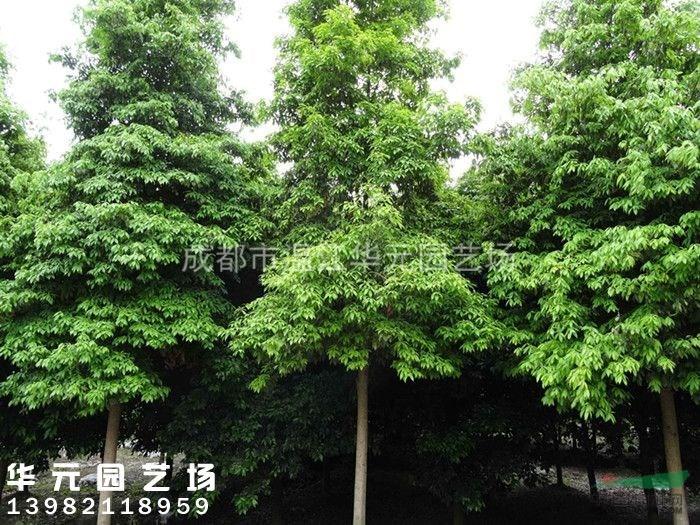 盆栽小叶楠木养殖方法