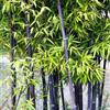 竹子、紫竹、佛肚竹、凤尾竹