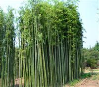 刚竹、金镶玉竹、箬竹、青皮竹、翠竹、早园竹、慈孝竹、佛肚竹、