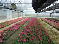 朱顶红、吉祥草、 菊花、国庆菊、彩叶草、一串红、矮牵牛