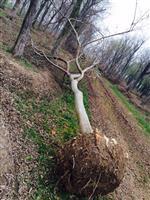 櫸樹,2014年櫸樹價格,櫸樹供應,櫸樹價格,江蘇櫸樹