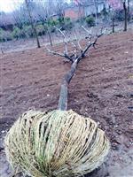 櫸樹供應,櫸樹價格,江蘇櫸樹價格