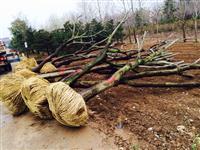 櫸樹,櫸樹供應,櫸樹圖片,江蘇櫸樹價格