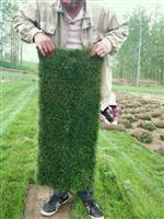 草坪基地百慕大,馬尼拉,高羊茅,四季青,中華結縷草