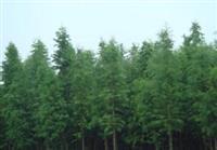 东方杉苗木