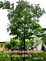2002年生丹东日本厚朴苗成树开花结果。
