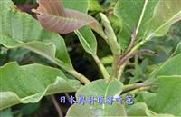 日本厚朴顶芽叶苞