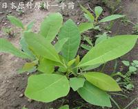 日本原种厚朴一年苗