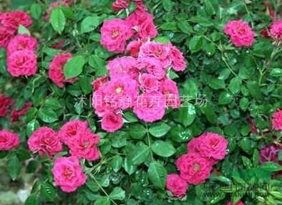 微型月季_微型月季供应_沭阳铭静花卉园艺场_中国园林