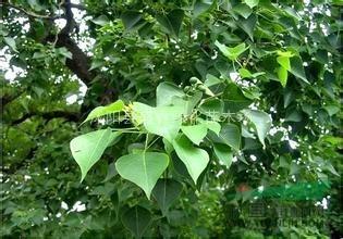 少妇桕男性性交�_出售乌桕种子 乌桕树籽种 腊子树,桕子树,木子树种子