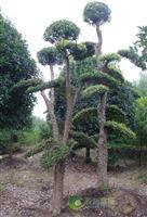 18公分精品造型柞树-湖南榨树
