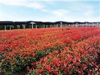 红叶石楠小苗、红叶石楠球、独杆红叶石楠