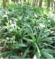 大叶棕竹和小叶棕竹,金山棕
