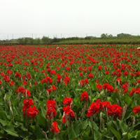水生美人蕉80万芽,再力花100万芽千屈菜50万芽。