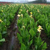 杭州萧山大量供应水生美人蕉160万芽,苗木配送各个省地区。
