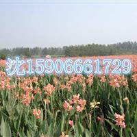 杭州萧山大量供应水生美人蕉120万芽,颜色多种,价格优惠。