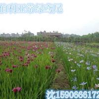 杭州大量供应再力花,千屈菜,黄菖蒲西伯利亚水生鸢尾自产自销