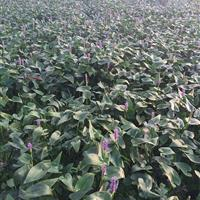 安徽蚌埠大量出售梭鱼草1000万芽,苗木配送各个省地区