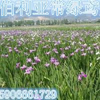可供杭州萧山黄花鸢尾2000万芽,水葱1000万芽。欢迎购买
