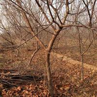 供应山杏3-6公分山杏·5-9公分山杏·8公分山杏树价格图片
