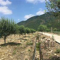 大量供应优质油橄榄种苗 油橄榄大树