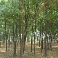 国槐——平陆滨河农林供应优质国槐