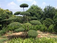 出售景观苗木造型、对节白蜡、对结白蜡、小叶女贞造、美人蕉