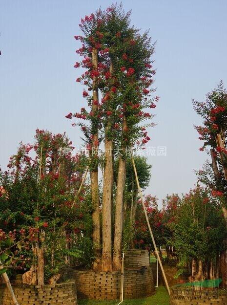 大规格红火箭紫薇精品大树