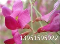 沙漠勇士柠条花棒锦小叶鸡儿沙打旺紫花苜蓿多花木兰种子全国包邮