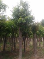 河南地区供应5-60公分五角枫