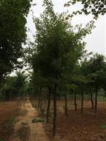 河南南陽地區供應5-60公分五角楓